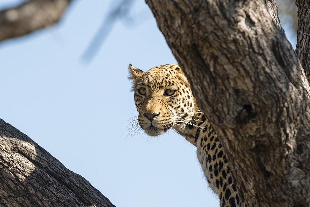 Leopard (Panthera pardus), Khwai Conservation Area, Okavango Delta, Botswana, Africa
