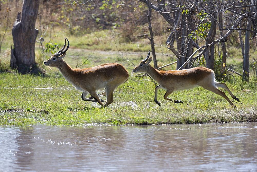 Red lechwe (Kobus leche leche), Khwai Conservation Area, Okavango Delta, Botswana, Africa