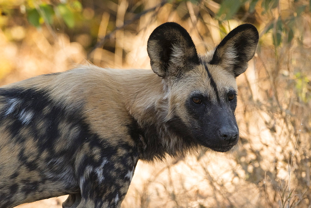 Portrait of an endangered African wild dog (Lycaon pictus), Botswana, Africa