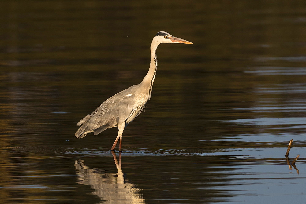 A grey heron, Ardea cinerea, in the river Khwai.