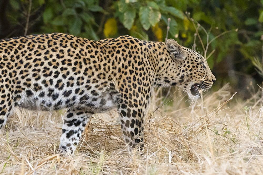 Leoprard (Panthera pardus), Savuti, Chobe National Park, Botswana, Africa