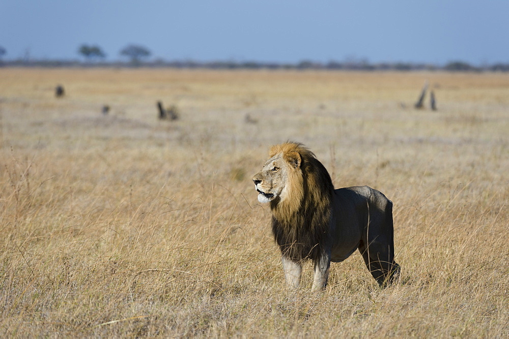 Lion (Panthera leo), Savuti, Chobe National Park, Botswana, Africa - 741-5517