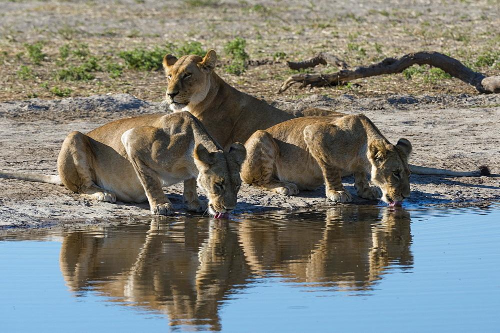 Three lionesses (Panthera leo) at waterhole, Botswana, Africa