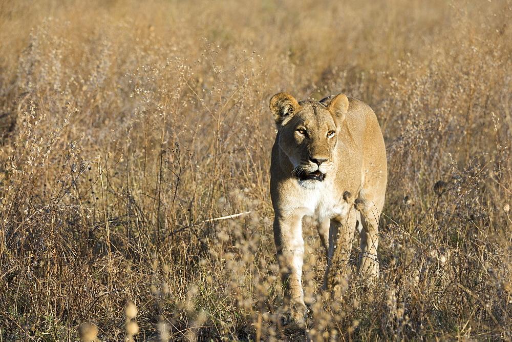 Lion (Panthera leo), Savuti, Chobe National Park, Botswana, Africa - 741-5521