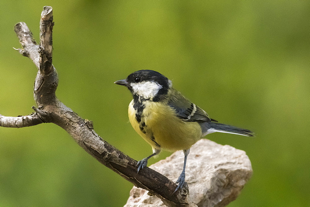 A great tit (Parus major) perching on a tree branch, Slovenia, Europe - 741-5533