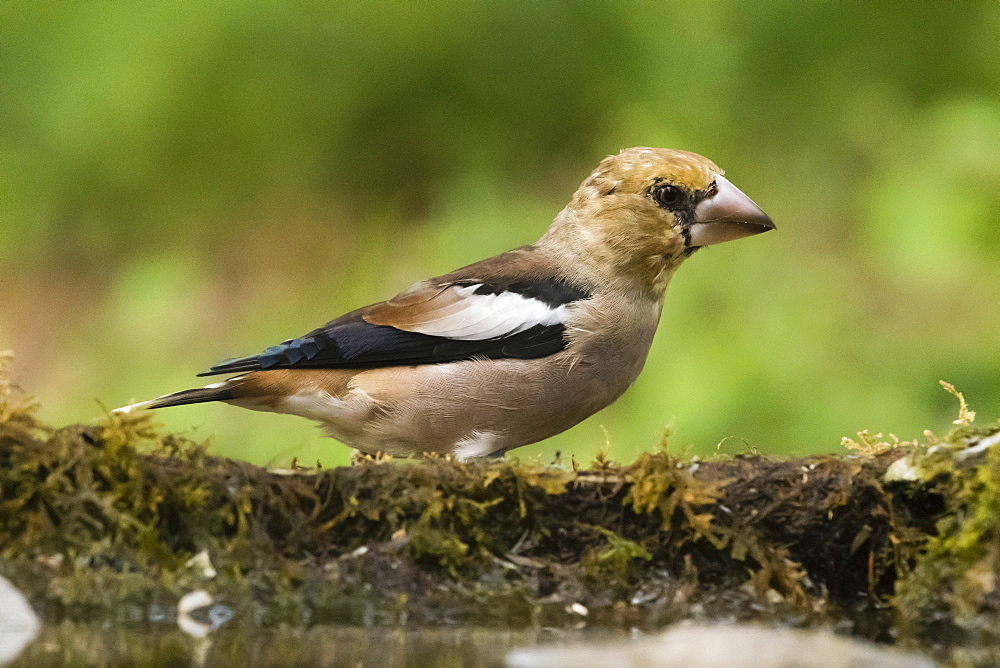 A hawfinch (Coccothraustes coccothraustes), Slovenia, Europe - 741-5534