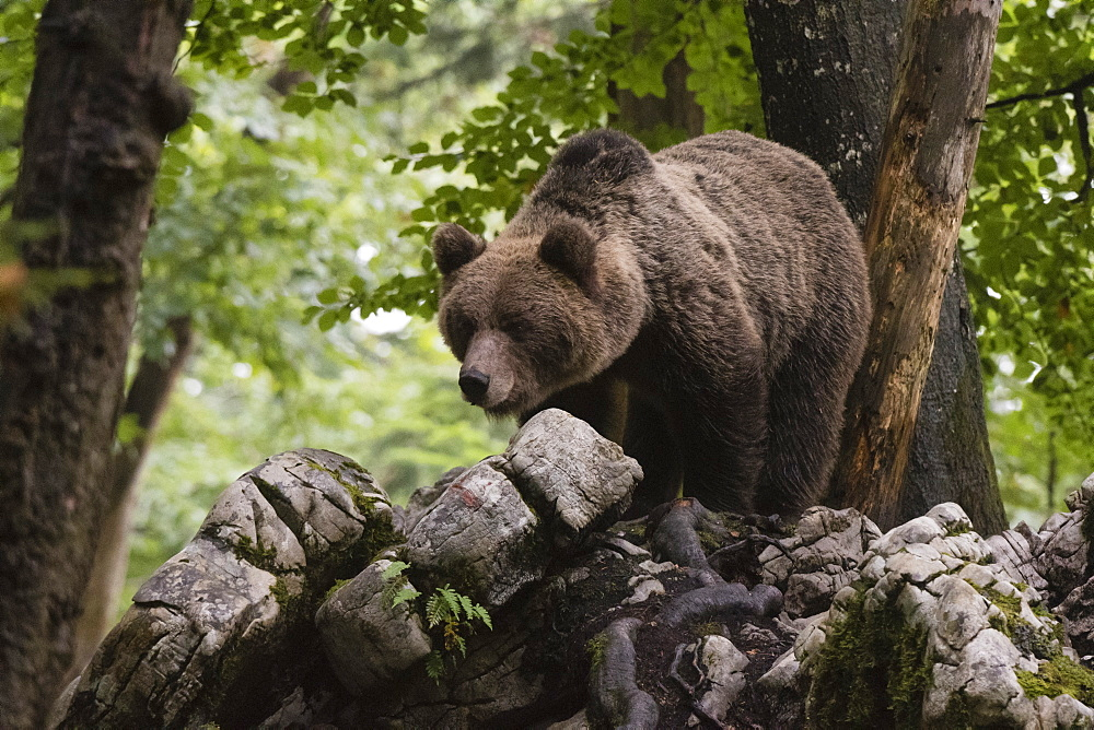 A European brown bear (Ursus arctos) in the Notranjska forest, Slovenia, Europe