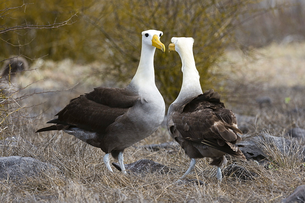 Waved albatross (Diomedea irrorata), Punta Suarez, Espanola Island, Galapagos Islands, UNESCO World Heritage Site, Ecuador, South America - 741-5555