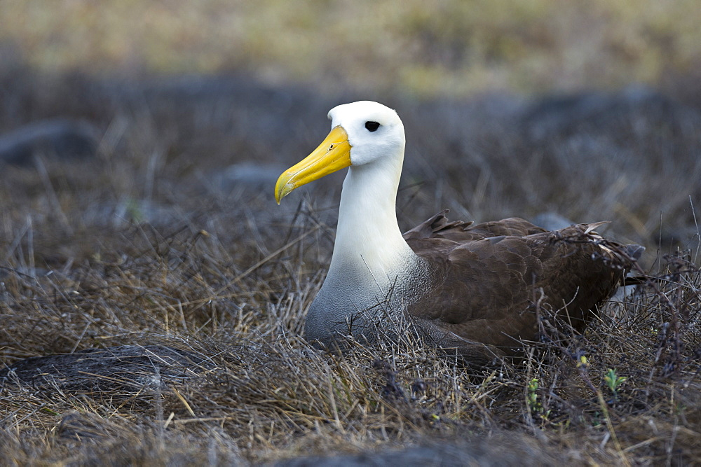 Portrait of a waved albatross (Diomedea irrorata) sitting on nest, Espanola Island, Galapagos Islands, UNESCO World Heritage Site, Ecuador, South America - 741-5557
