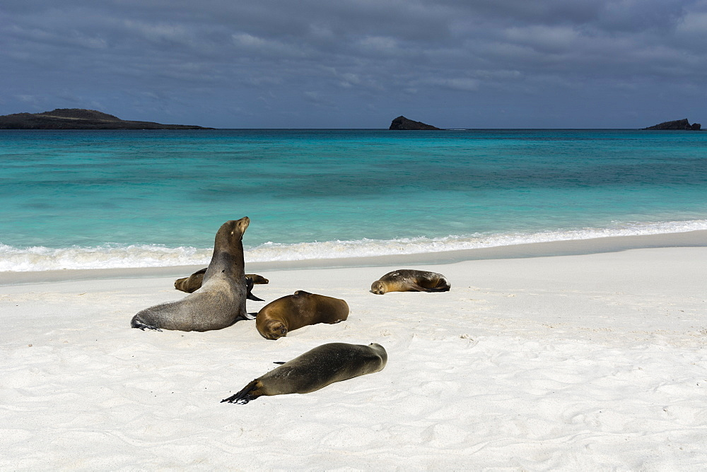 Galapagos Sea Lions (Zalophus californianus wollebaeki), Gardner Bay, Espanola Island, Galapagos Islands, UNESCO World Heritage Site, Ecuador, South America - 741-5559