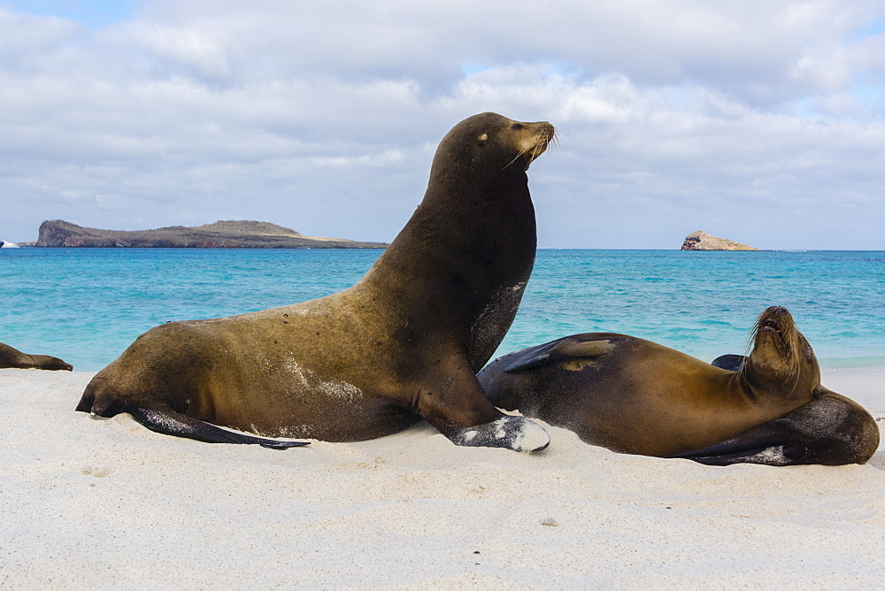 Galapagos sea lions (Zalophus californianus wollebaeki), resting on a sandy beach, Espanola Island, Galapagos Islands, UNESCO World Heritage Site, Ecuador, South America - 741-5560