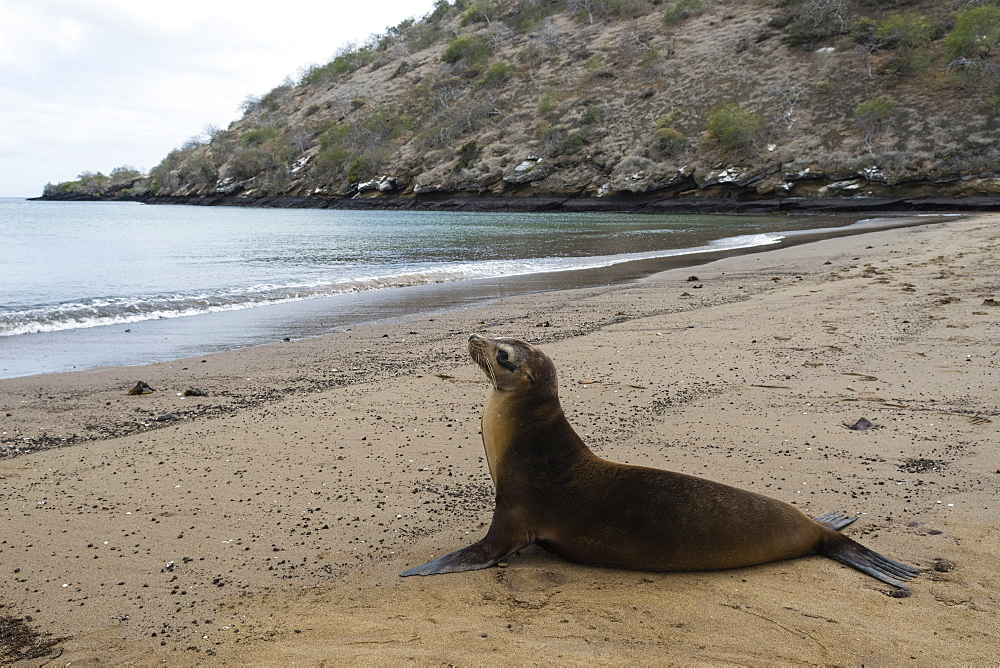 Galapagos Sea Lion (Zalophus californianus wollebaeki), Floreana Island, Galapagos Islands, UNESCO World Heritage Site, Ecuador, South America
