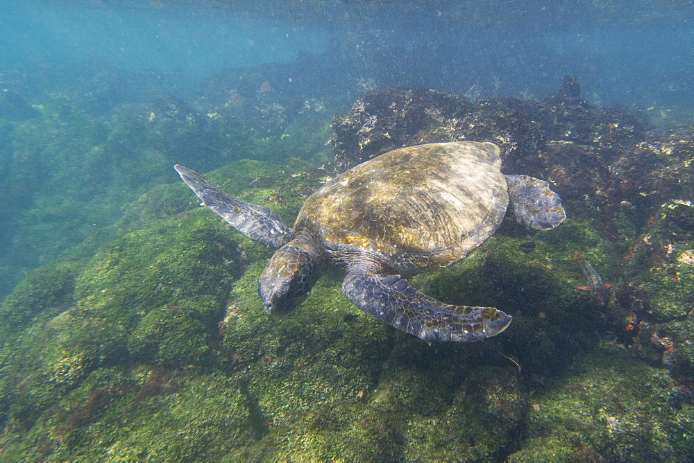 Pacific green sea turtle (Chelonia mydas agassizi), Post Office Bay, Floreana Island, Galapagos Islands, Ecuador, South America