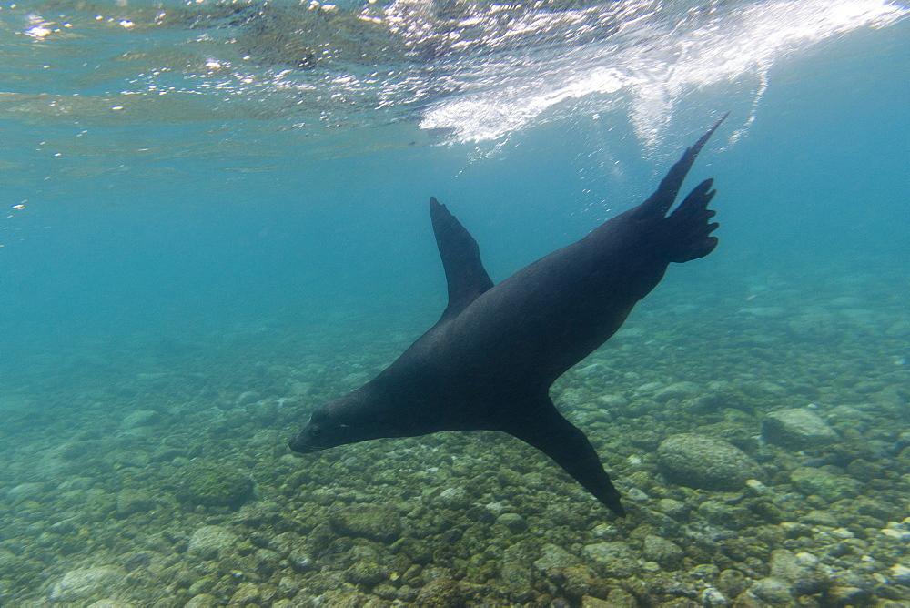 Galapagos sea lions (Zalophus californianus wollebaeki), underwater, Santa Fe Island, Galapagos Islands. Ecuador, South America