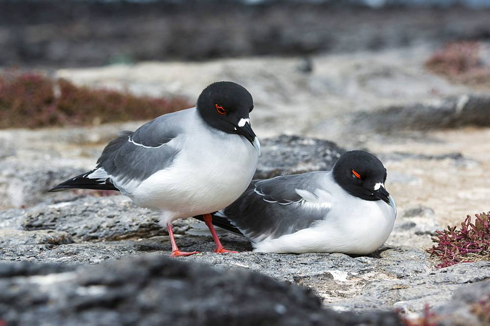 Swallow-tailed gulls (Larus furcatus), South Plaza Island, Galapagos Islands, UNESCO World Heritage Site, Ecuador, South America - 741-5574