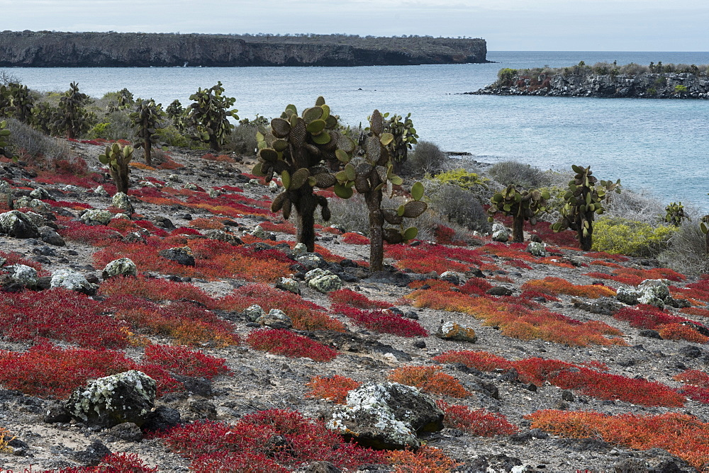 Sesuvium edmonstonei and cactus (Opuntia sp.), South Plaza Island, Galapagos Islands, UNESCO World Heritage Site, Ecuador, South America