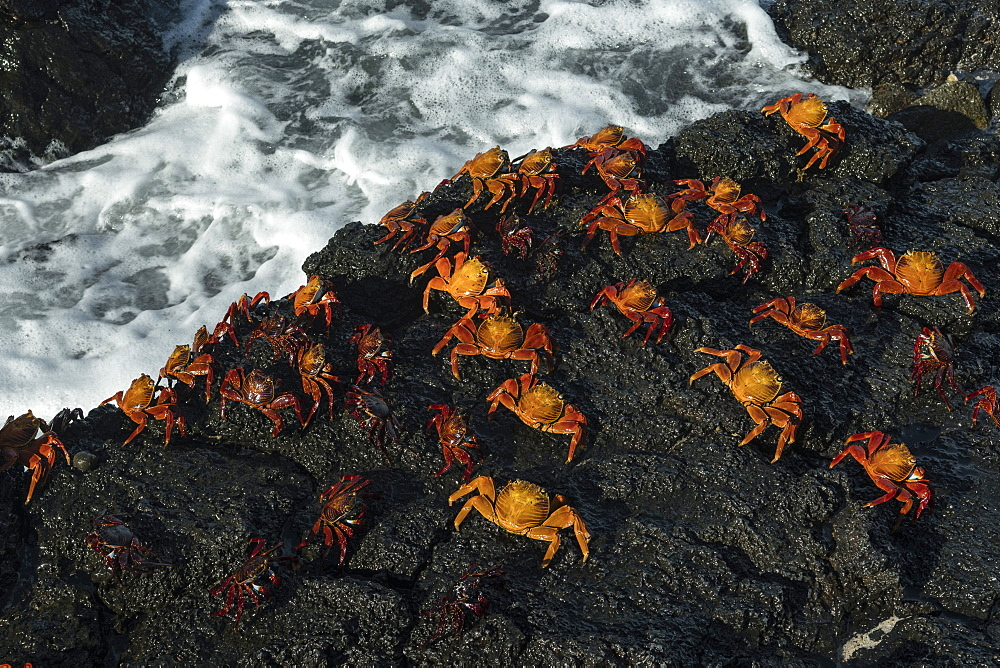 Sally Lightfoot Crab (Grapsus grapsus), Bachas beach, North Seymour Island, Galapagos Islands, UNESCO World Heritage Site, Ecuador, South America - 741-5584