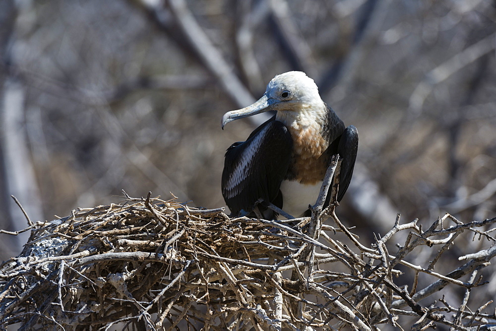 Magnificent frigate bird (Fregata magnificens), North Seymour island, Galapagos Islands, Ecuador, South America