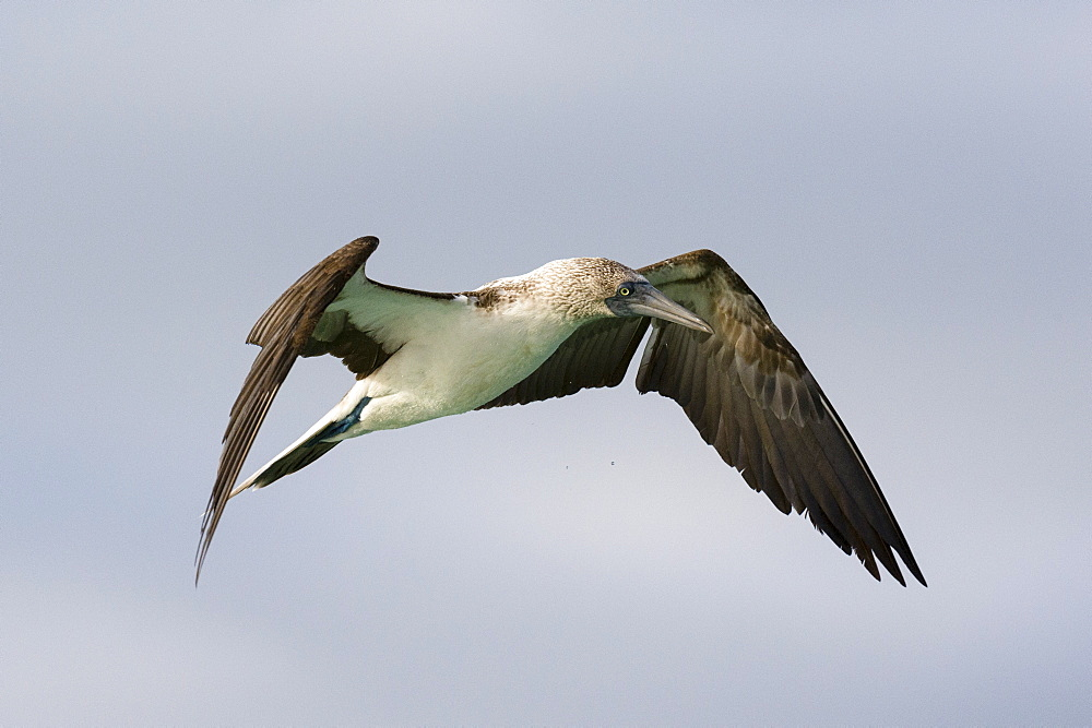 A blue-footed booby (Sula nebouxii) in flight, Galapagos Islands, Ecuador, South America - 741-5589