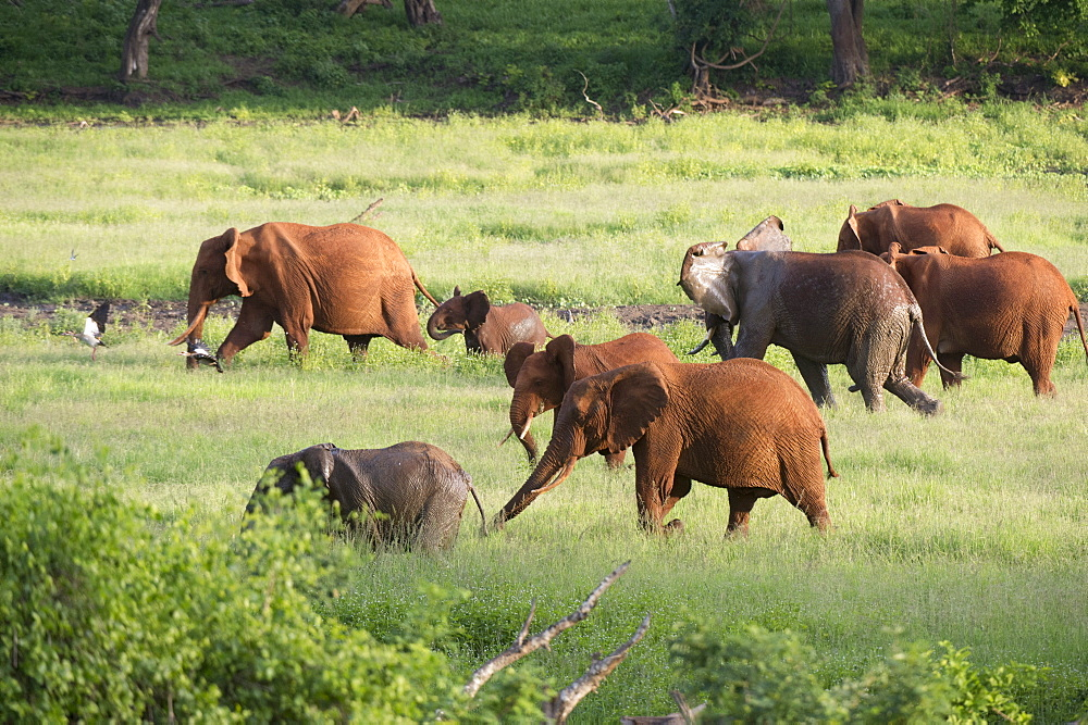 African elephants (Loxodonta africana), Tsavo, Kenya, East Africa, Africa - 741-5593