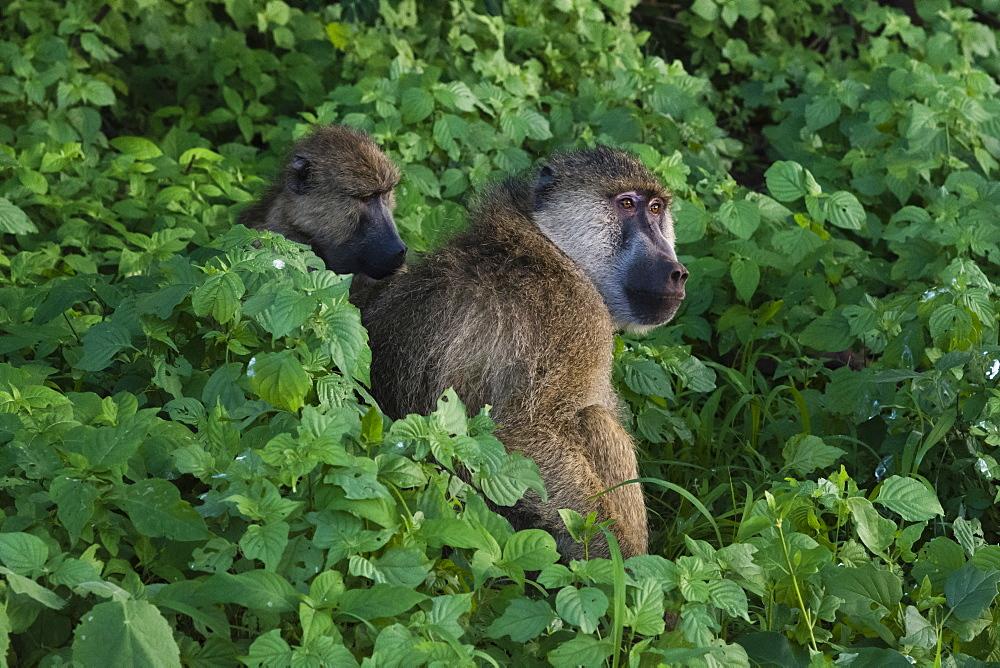 Two yellow baboons (Papio hamadryas cynocephalus), grooming, Tsavo, Kenya, East Africa, Africa
