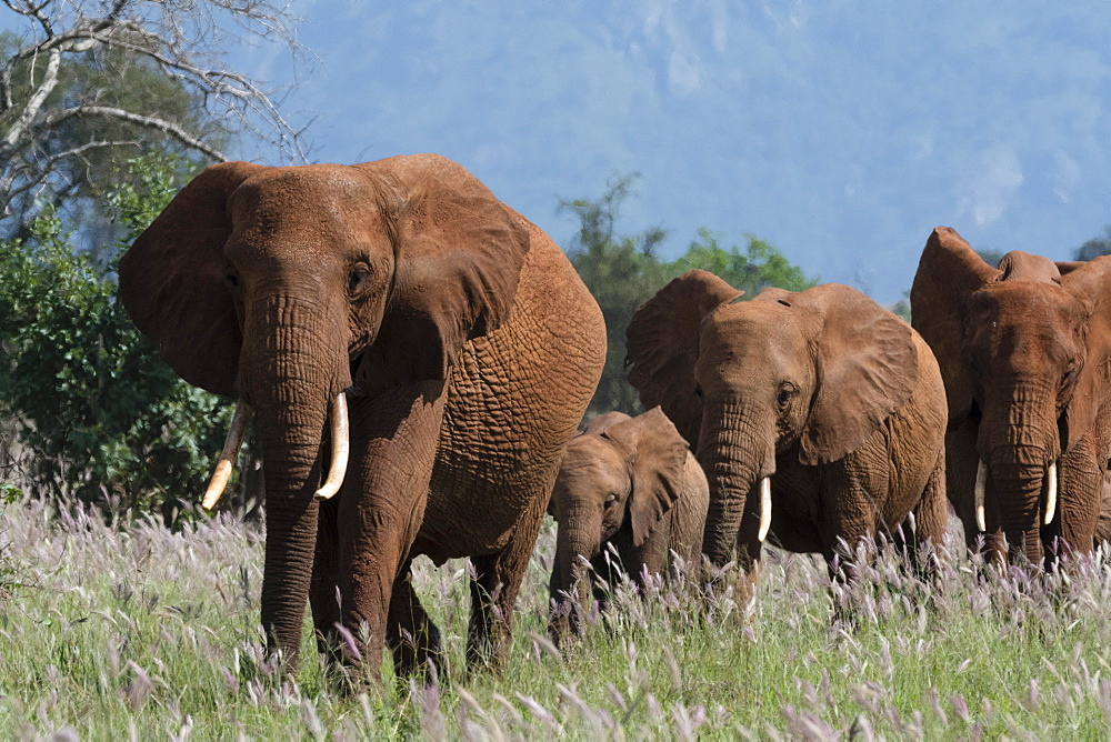 African elephants, Loxodonta africana, and calf walking in a line, Tsavo, Kenya.