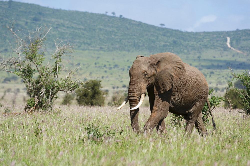 African elephant (Loxodonta africana), Tsavo, Kenya, East Africa, Africa - 741-5596