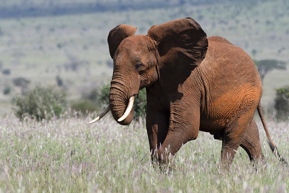 African elephant (Loxodonta africana), Tsavo, Kenya, East Africa, Africa - 741-5597