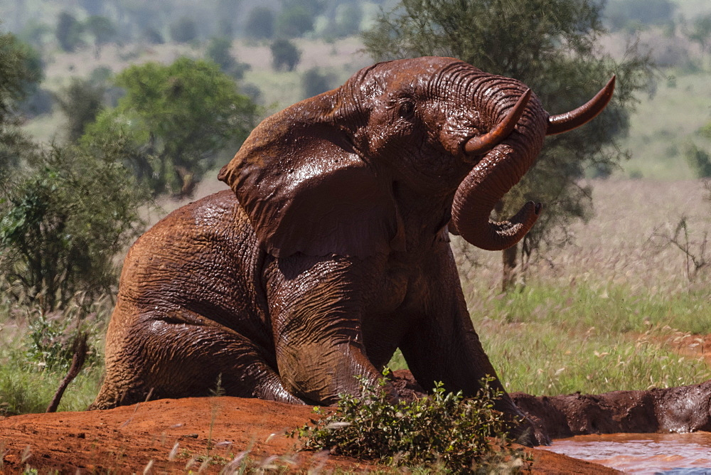 African elephant (Loxodonta africana), Tsavo, Kenya, East Africa, Africa - 741-5598