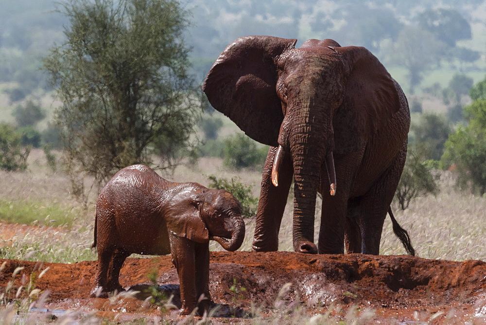 African elephants (Loxodonta africana), Tsavo, Kenya, East Africa, Africa