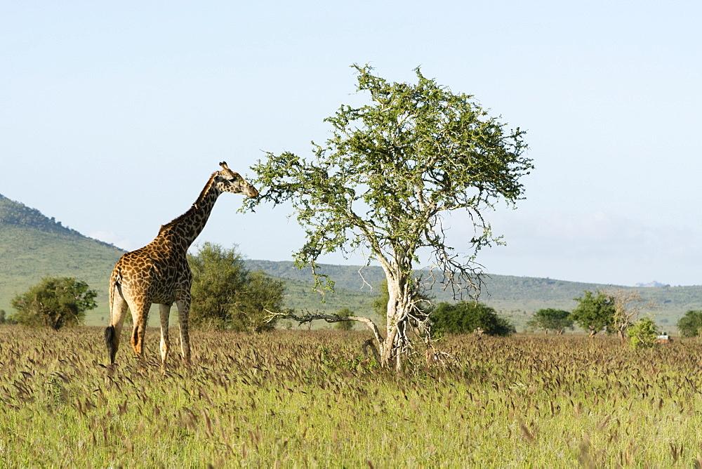 Masai giraffe (Giraffa camelopardalis), Tsavo, Kenya, East Africa, Africa