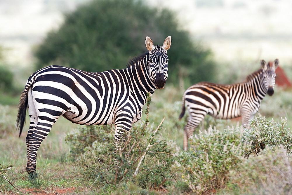 Plains zebras (Equus quagga), Tsavo, Kenya, East Africa, Africa - 741-5601