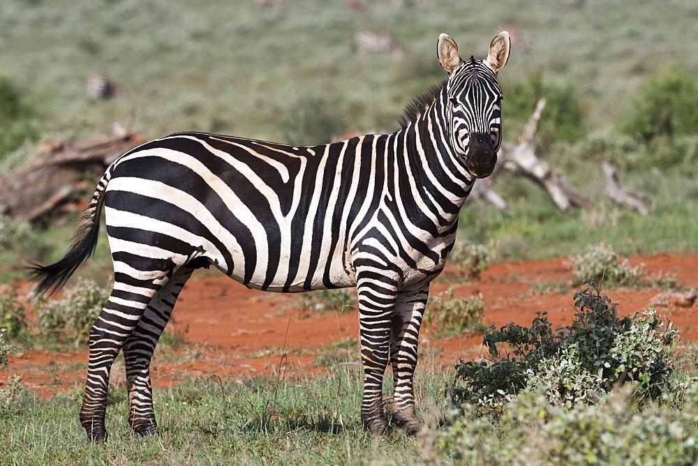 Plains zebra (Equus quagga), Tsavo, Kenya, East Africa, Africa