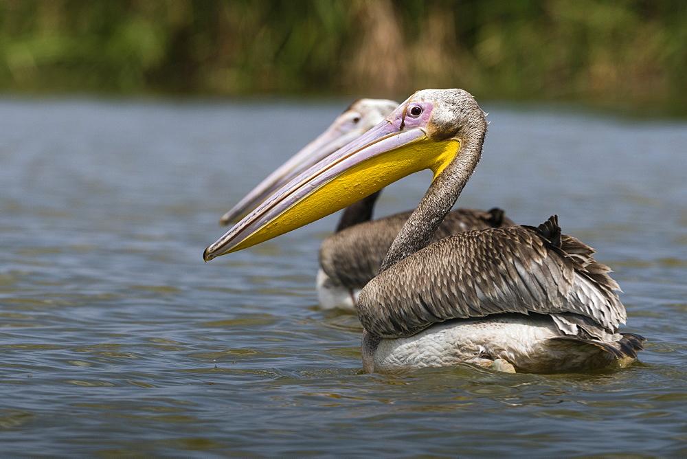 Great white pelican (Pelecanus onocrotalus), Tsavo, Kenya, East Africa, Africa - 741-5603