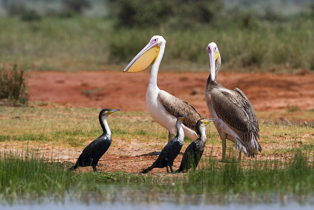 Great white pelican (Pelecanus onocrotalus), Tsavo, Kenya, East Africa, Africa - 741-5604