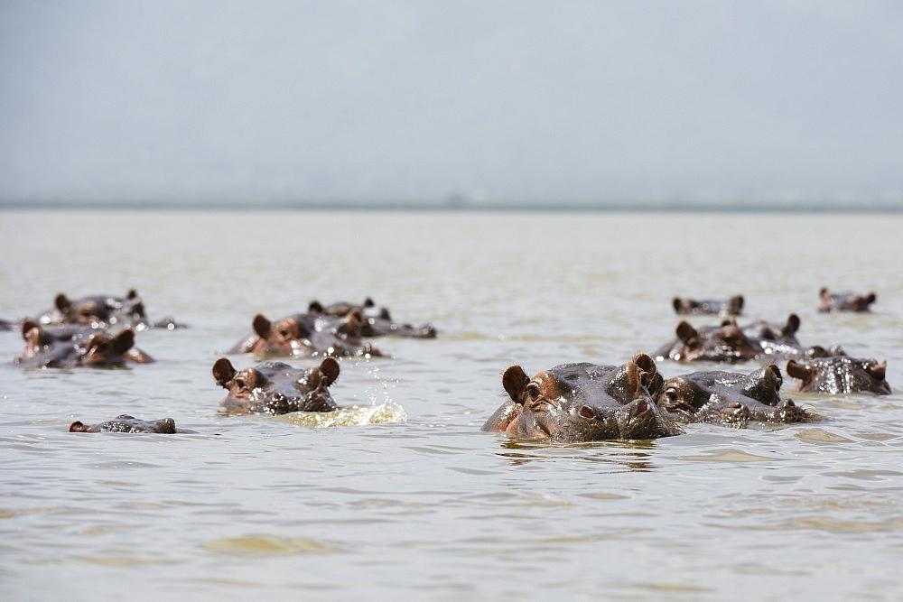 Hippopotamuses (Hippopotamus amphibius), in Lake Gipe, Tsavo, Kenya, East Africa, Africa