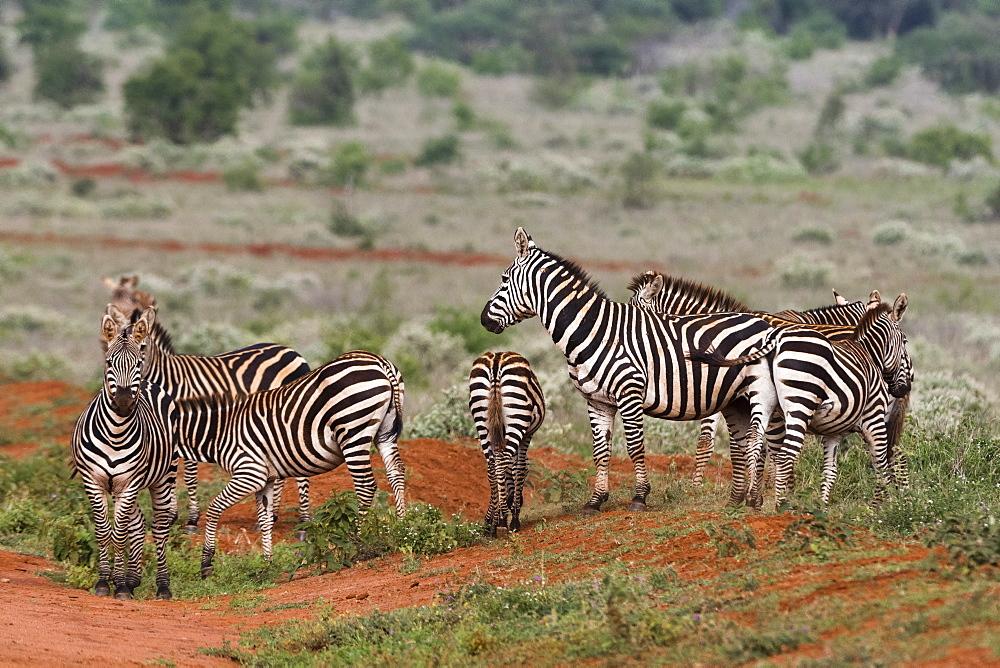 Plains zebras (Equus quagga), Tsavo, Kenya, East Africa, Africa