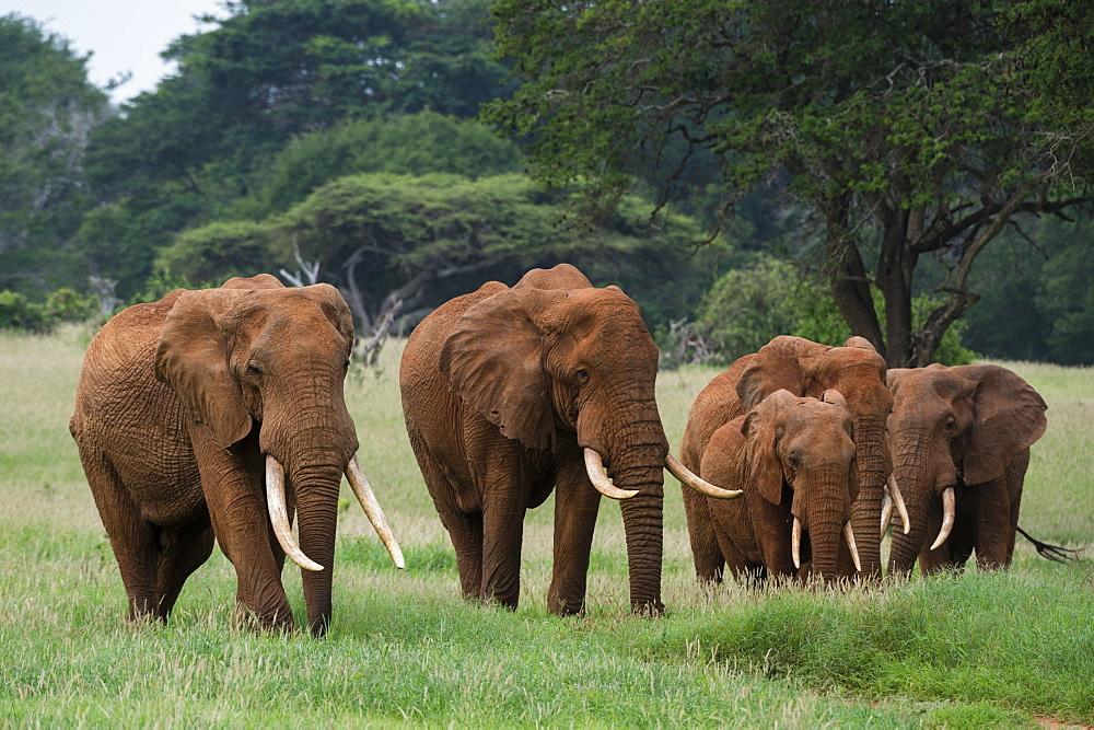 African elephants (Loxodonta africana), Tsavo, Kenya, East Africa, Africa - 741-5615