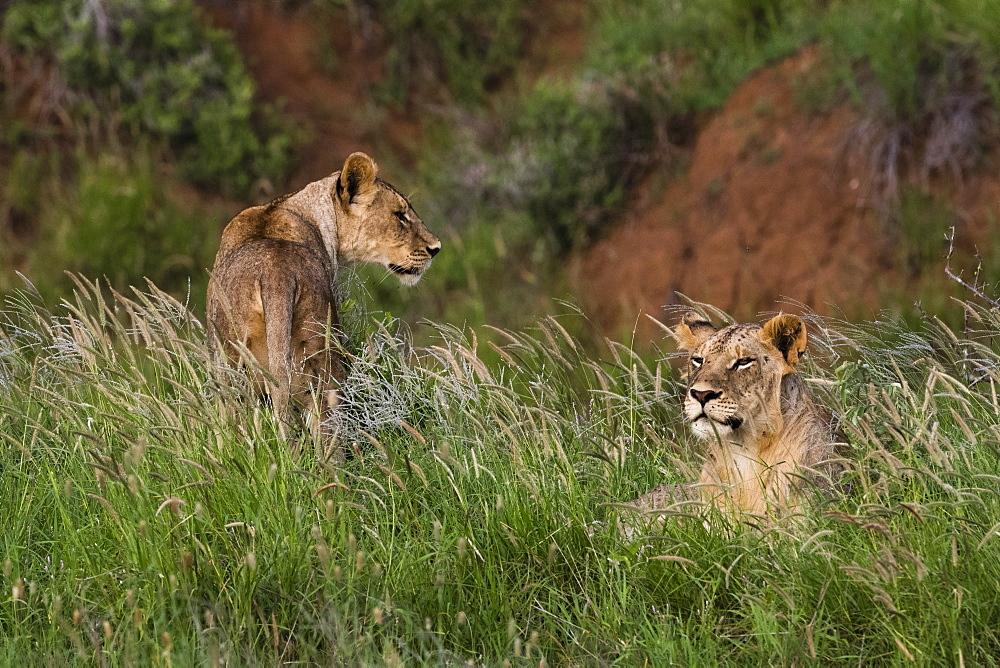 Lions (Panthera leo), Tsavo, Kenya, East Africa, Africa - 741-5618