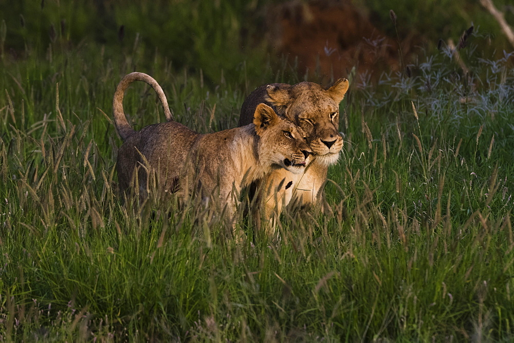 A lioness (Panthera leo) and its cub, Tsavo, Kenya. - 741-5619