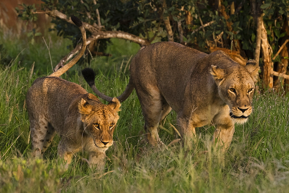 A lioness (Panthera leo) and its cub, walking, Tsavo, Kenya.
