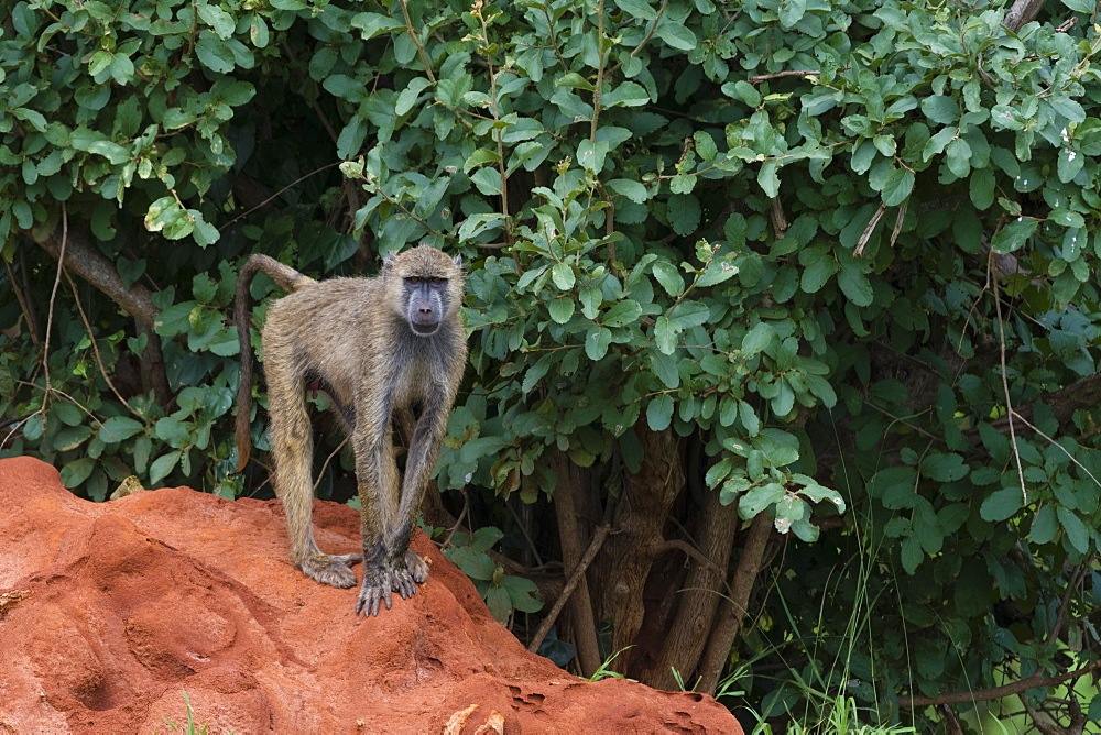 A yellow baboon (Papio hamadryas cynocephalus), on a termite mound. - 741-5622