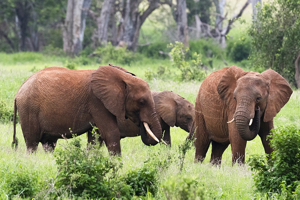 African elephants (Loxodonta africana), Tsavo, Kenya, East Africa, Africa - 741-5623