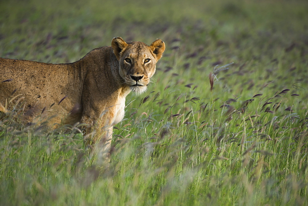 A lioness (Panthera leo), in a field of purple grass, Tsavo, Kenya. - 741-5625