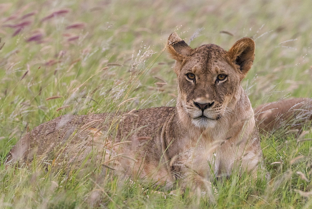 Portrait of a lioness (Panthera leo), in a field of purple grass. - 741-5628