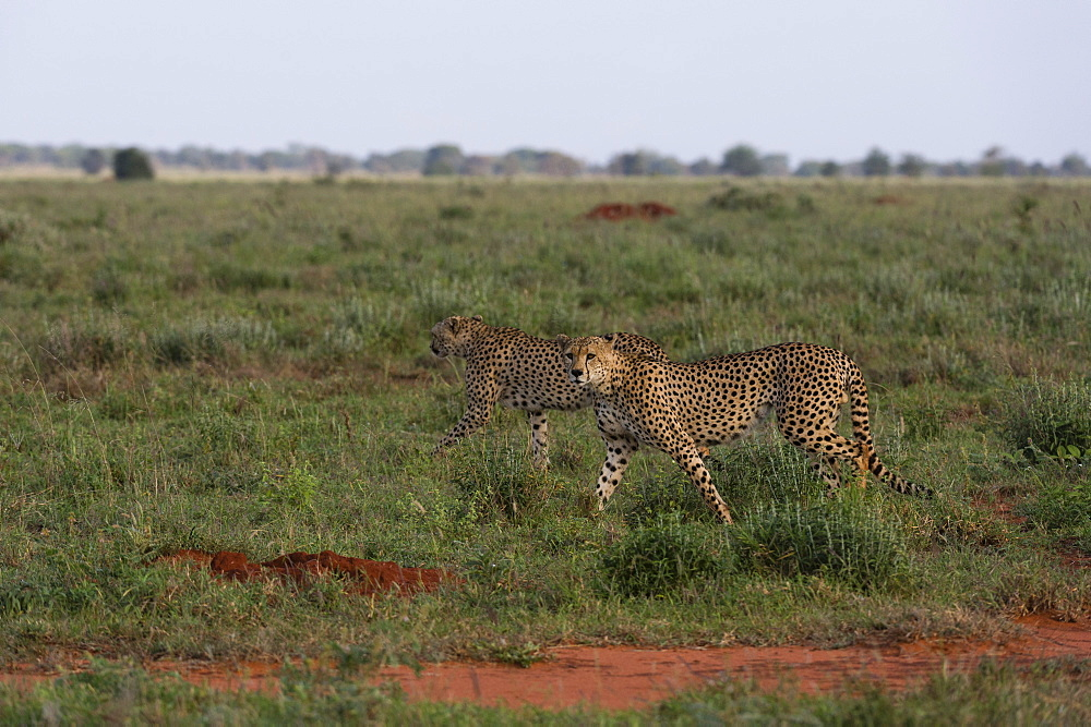 Two cheetahs (Acinonyx jubatus), walking in the savannah, Tsavo, Kenya.