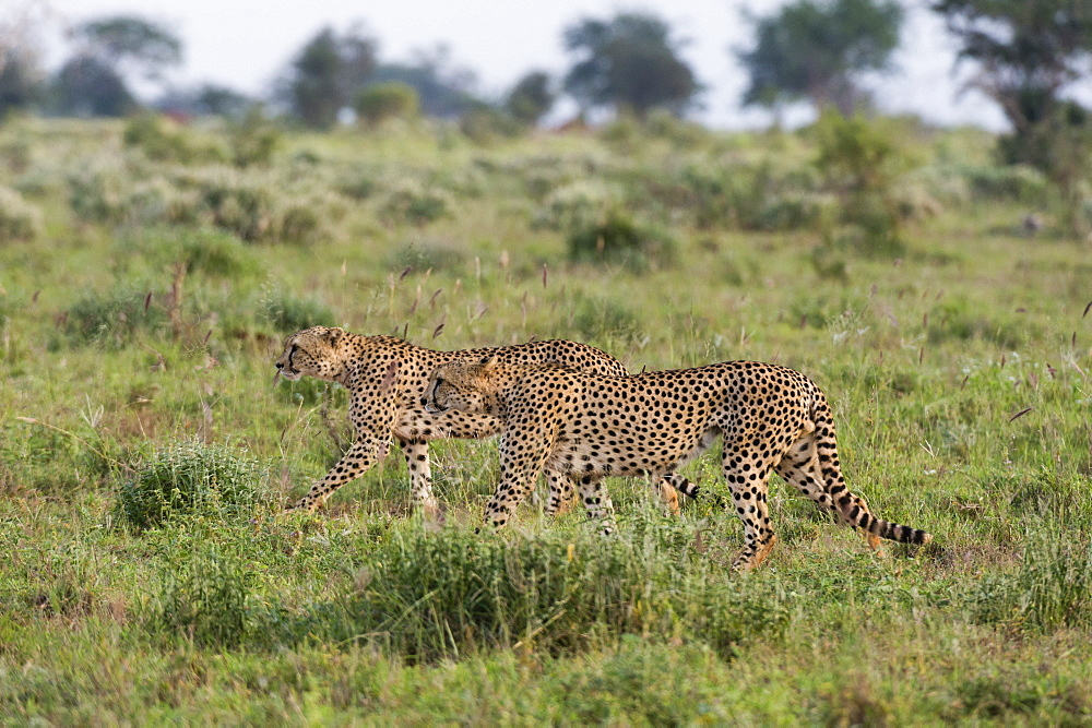 Two endangered cheetahs (Acinonyx jubatus) walking in the savannah, Tsavo, Kenya, East Africa, Africa
