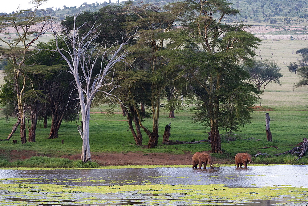 African elephants (Loxodonta africana), Tsavo, Kenya, East Africa, Africa - 741-5632