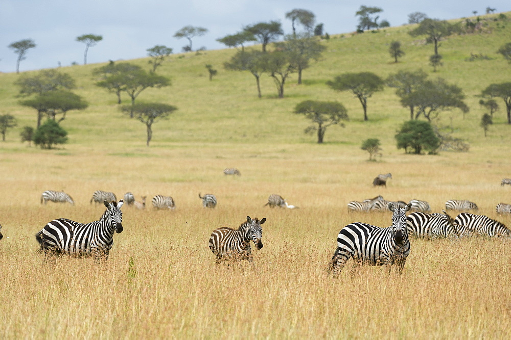 Plains zebras (Equus quagga) in the savannah, Seronera, Serengeti National Park, Tanzania, East Africa, Africa - 741-5649