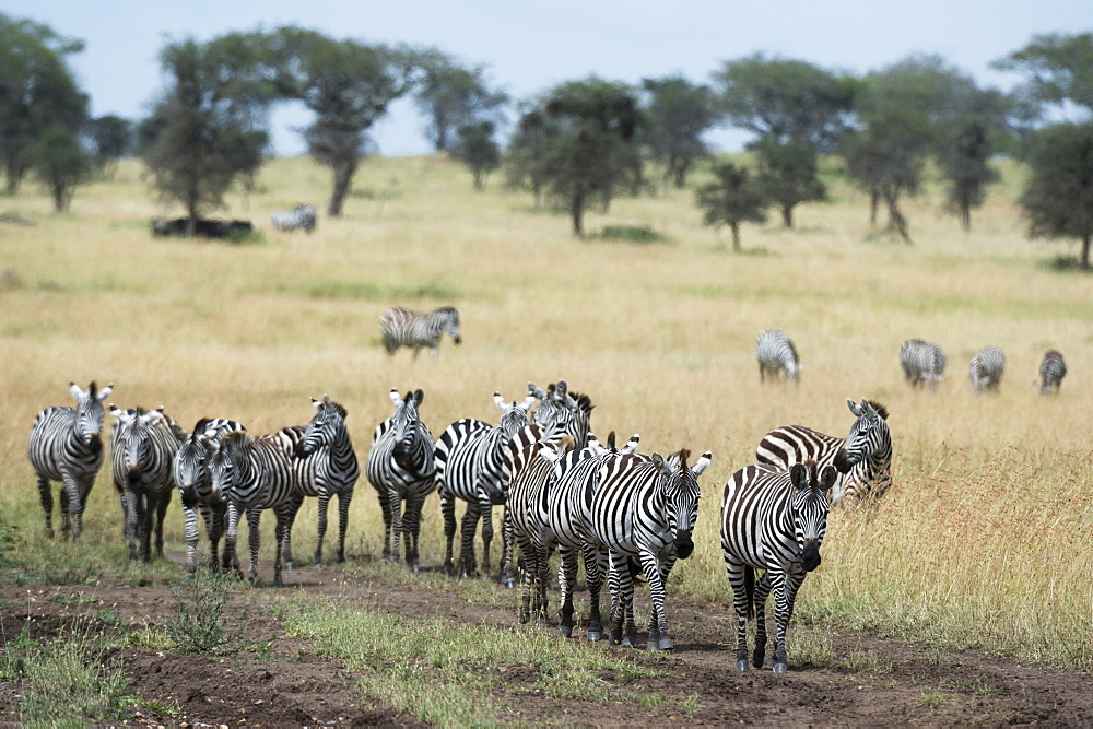 Plains zebras (Equus quagga), Seronera, Serengeti National Park, Tanzania, East Africa, Africa